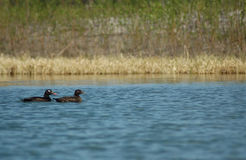 White-Winged Scoters. Pair of white-winged scoters paddle in a lake Royalty Free Stock Photo