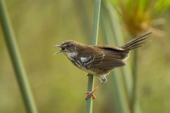White-winged Scrub-Warbler, Witvleugel-struikzanger, Bradypteru royalty free stock images