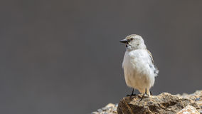 White-winged Snowfinch Royalty Free Stock Photography