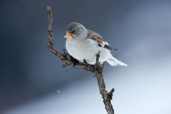 White winged snowfinch Royalty Free Stock Photo