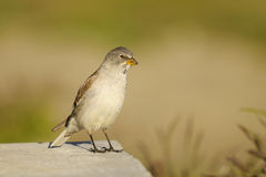 White-winged Snowfinch, or Snowfinch, Montifringil Royalty Free Stock Photo
