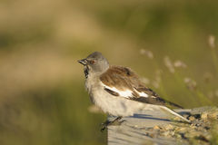 White-winged Snowfinch, or Snowfinch, Montifringil Stock Photo