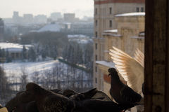 White wings. Feeder on the windowsill of Moscow State University dormitory, a lot of gray pigeons and spread white wings Royalty Free Stock Photography