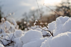 White winter. Warm sunset light on snow-covered bush. Shallow depth of field Stock Images