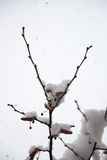White winter background with snowy branches. White winter background with a snowy branches Stock Photo