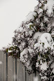 White winter background with snowy branches. White winter background with a snowy branches Royalty Free Stock Images