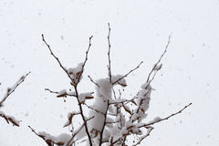 White winter background with snowy branches. White winter background with a snowy branches Stock Images