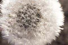 White winter dandelion. Background texture Wallpaper on your desktop stock photos