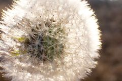 White winter dandelion. Background texture Wallpaper on your desktop stock image