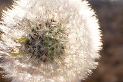 White winter dandelion. stock image