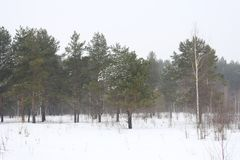 White winter. Forest landscape. Green pine trees. White birch. The field is covered with snow. Gloomy winter sky Royalty Free Stock Photography