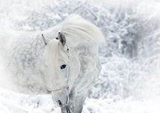 White winter horse portrait Royalty Free Stock Images