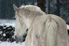 White Winter Horse. A white horse in rear view in a paddock in a winter snowstorm Royalty Free Stock Images