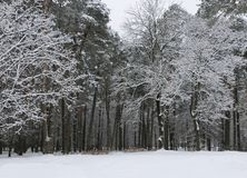 White winter pine forest landscape