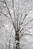 White winter tree. Winter tree with frosted branches Royalty Free Stock Images