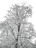 White winter tree Royalty Free Stock Photography