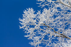 White winter wonderland with blue sky and detailed branches. Wonderful cold xmas weather scene with winter forest trees and branches full of ice and snow Royalty Free Stock Photography