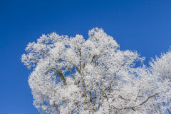 White winter wonderland with blue sky and huge frozen tree. Wonderful cold xmas weather scene with winter forest trees and branches full of ice and snow Stock Image