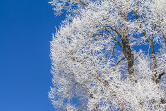 White winter wonderland with blue sky and icy wooden tree Royalty Free Stock Image