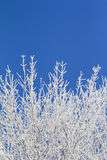 White winter wonderland with blue sky and many vertical branches. Wonderful cold xmas weather scene with winter forest trees and branches full of ice and snow Stock Photos