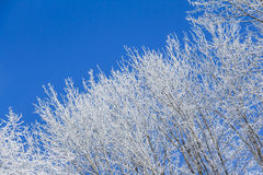 White winter wonderland with blue sky and right tree row. Wonderful cold xmas weather scene with winter forest trees and branches full of ice and snow. Copyspace Royalty Free Stock Image