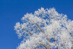 White winter wonderland with blue sky and tree from right. Wonderful cold xmas weather scene with winter forest trees and branches full of ice and snow Stock Image