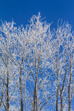 White winter wonderland with blue sky and vertical trees. Wonderful cold xmas weather scene with winter forest trees and branches full of ice and snow. Copyspace Royalty Free Stock Image