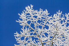 White winter wonderland with blue sky and very detailed branches. Wonderful cold xmas weather scene with winter forest trees and branches full of ice and snow Royalty Free Stock Photography