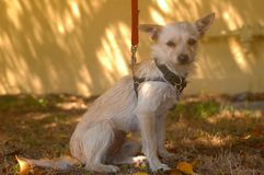 White Wire Haired Chihuahua Female on leash sun light wall royalty free stock images