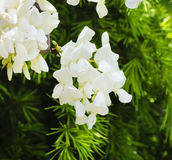 White Wistaria Flower Royalty Free Stock Images