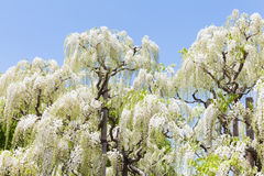 White wisteria blooming in spring season Stock Photo