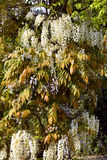 White wisteria Royalty Free Stock Photos