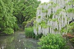 White Wisteria flower. royalty free stock photo