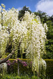 White wisteria flowering plant. Stock Photography