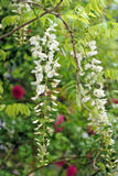 White wisteria flowers Royalty Free Stock Photo