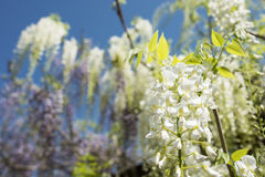 White wisteria flowers Royalty Free Stock Photography