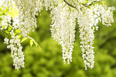 White wisteria flowers Royalty Free Stock Image