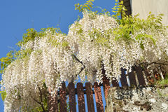 White wisteria flowers sky background Royalty Free Stock Photos