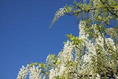 White wisteria flowers Stock Image