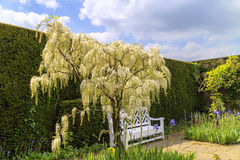 White Wisteria in a garden. Stock Photo
