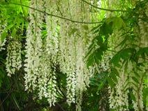 White wisteria Royalty Free Stock Image