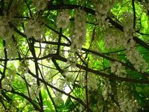 White wisteria Royalty Free Stock Photo