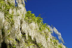 White wisteria Royalty Free Stock Image