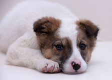 White With Brown Puppy Stock Photography
