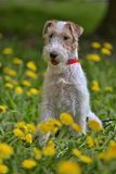 White With Red Airedale Terrier Among Yellow Royalty Free Stock Photos