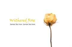White Withered Rose Stock Photo