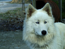 White Wolf. Wolf with coloured eyes Stock Photo