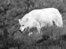 White wolf. On the prowl Stock Photos