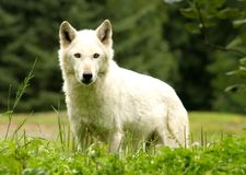 White Wolf. A white arctic wolf close-up Stock Photo