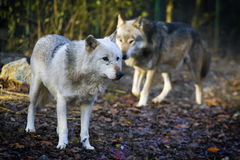 White wolf. Standing in a wood Stock Photography
